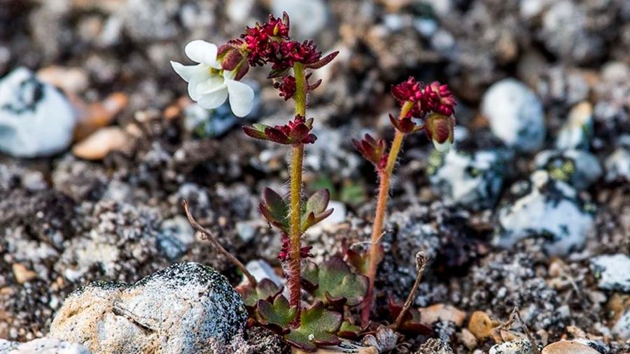 Las plantas del Ártico ganan altura y especies por el cambio climático