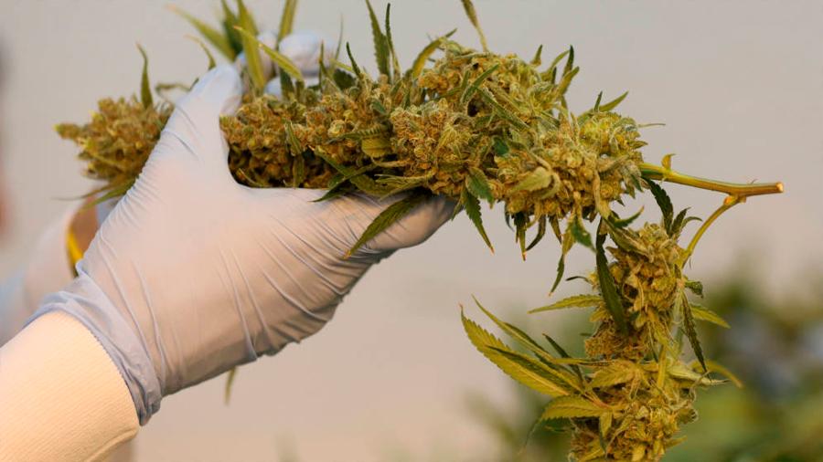 El cannabis hace más daño al cerebro de los adolescentes que el alcohol: nuevo estudio