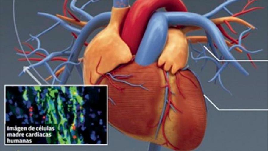 """Descubierta la clave para """"educar"""" a las células del corazón"""