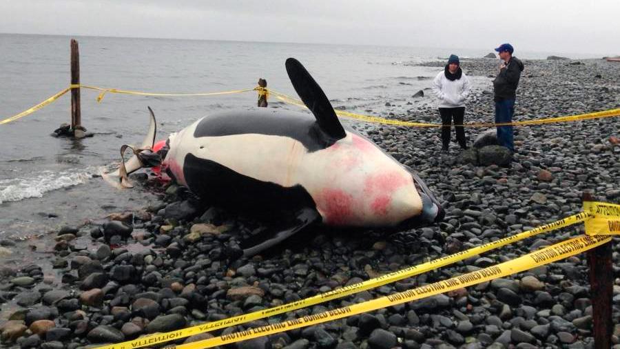 Quién está asesinando a las orcas asesinas en las Canarias y Gibraltar: un nuevo compuesto de PCB