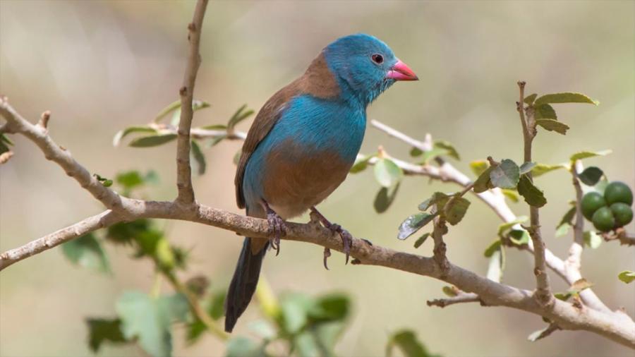 """Los pájaros cantores actúan """"más apasionadamente"""" ante un público"""