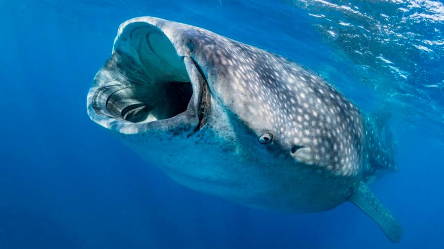 El genoma de los tiburones revela que son fósiles vivientes