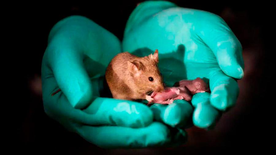 Un laboratorio chino logra que nazcan ratones sanos de dos madres, sin ningún padre