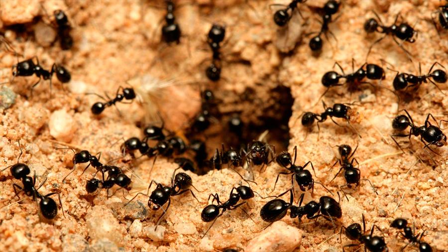 Las colonias de hormigas regulan la proporción de soldados y obreras