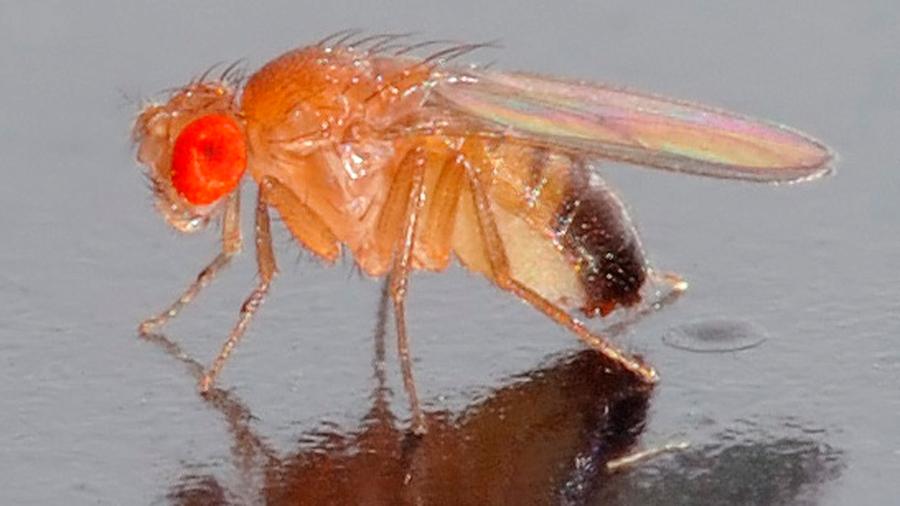 Crean moscas con genes antiguos para estudiar su evolución