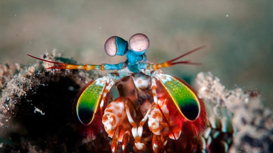 La gamba mantis: el crustáceo boxeador que ayudará a los coches autónomos a ver mejor