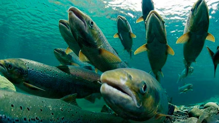 Una fuga de casi 700.000 salmones en Chile alarma a los ambientalistas