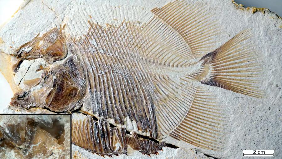 Un pez parecido a una piraña comía carne hace 150 millones de años