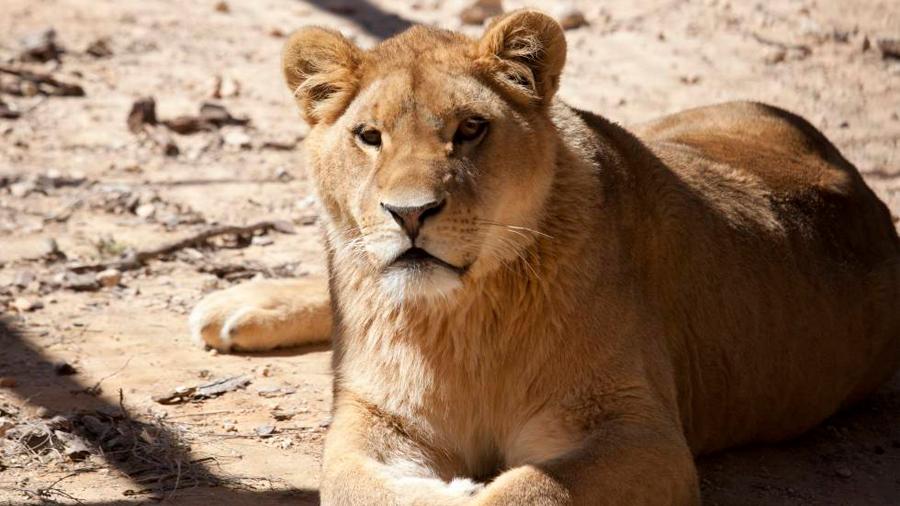 Dos leones víctimas del circo y la guerra se reencuentran en Sudáfrica