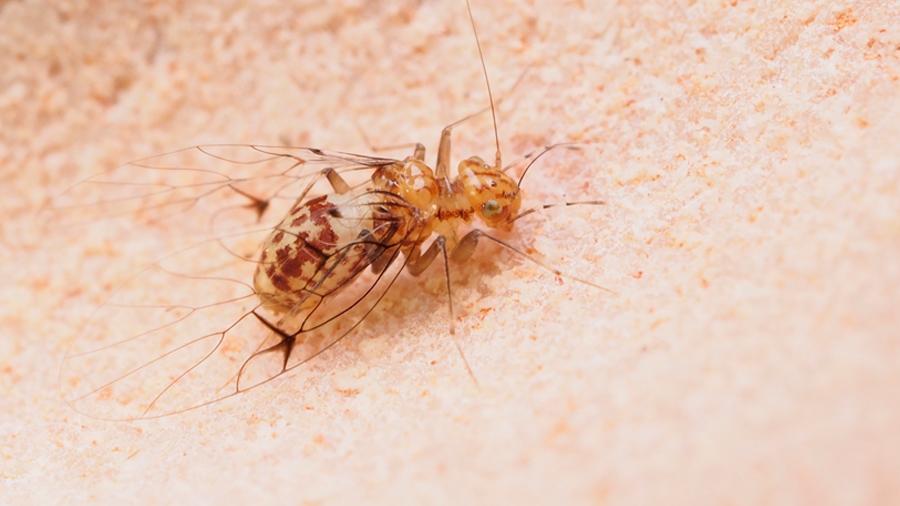 Desnudan cómo funciona el pene de una hembra de insecto de Brasil