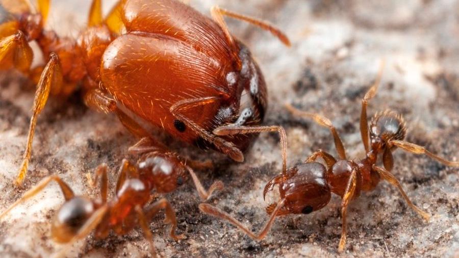 Científicos descifran el misterio de las hormigas 'soldados gigantes' que Darwin no pudo resolver