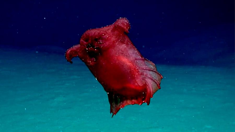 Conoce al monstruo del 'pollo sin cabeza', misteriosa criatura del mar profundo