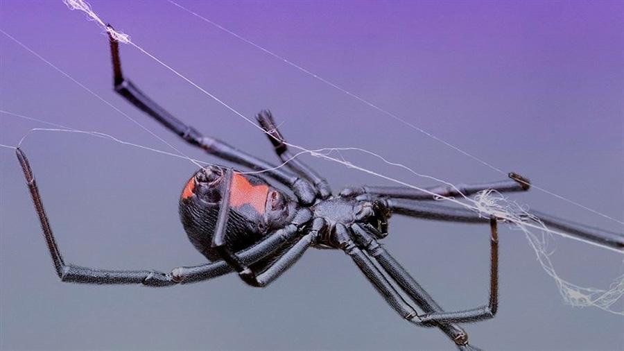 Resuelto el misterio de la seda como el acero de la araña viuda negra