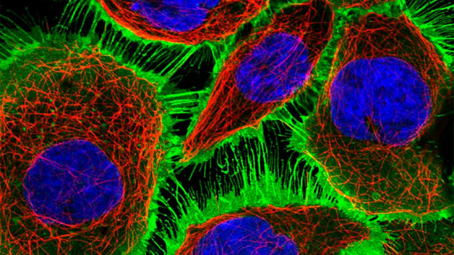 Científicos descubren un nuevo tipo de estructura celular en tejidos humanos