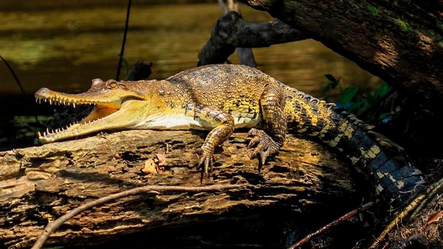 Primera nueva especie de cocodrilo descubierta en 85 años