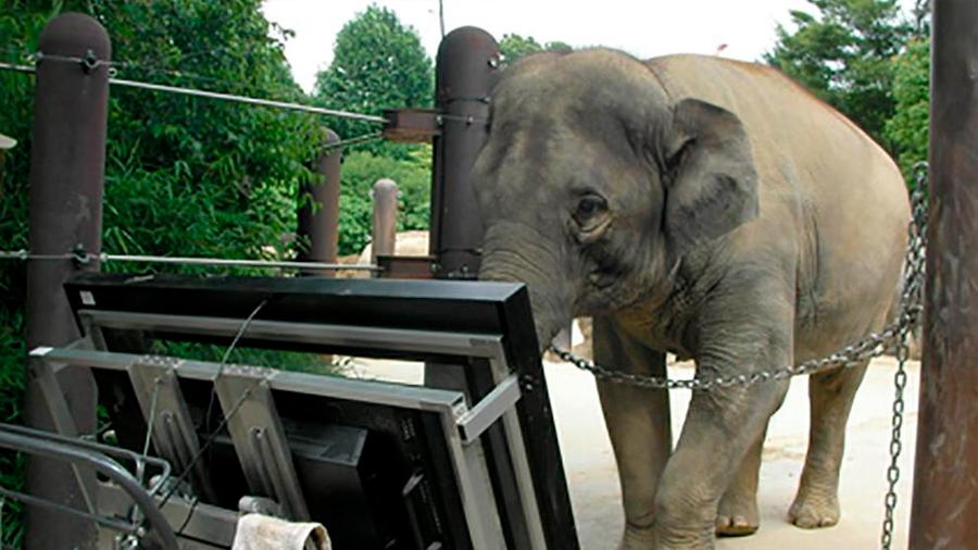 Elefantes asiáticos tienen habilidades numéricas similares a los humanos