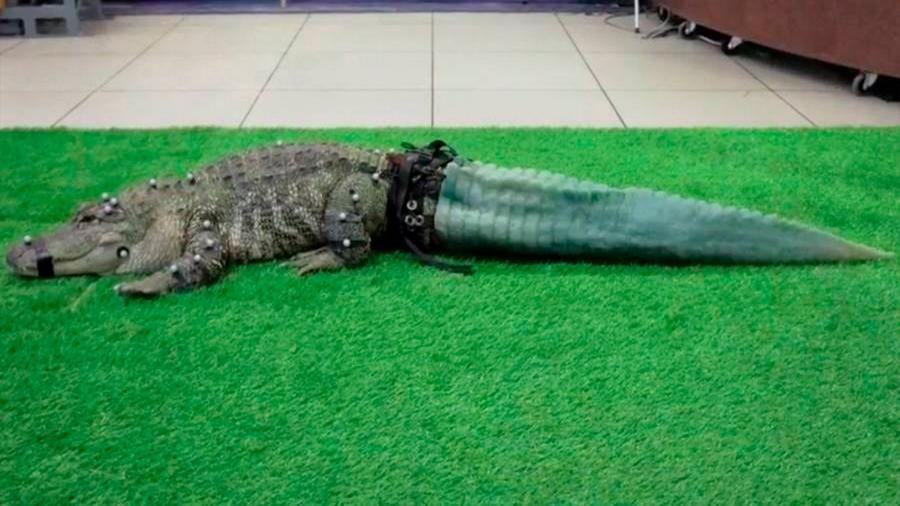 Cocodrilo recupera su cola por medio de la impresión 3D