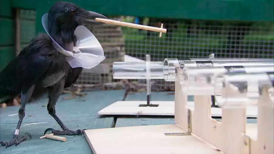 Una especie de cuervo inventa herramientas con varias piezas