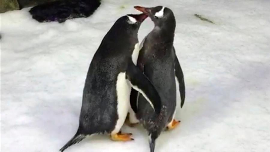 Una pareja de pingüinos gay tiene su primer hijo