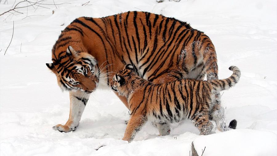 Un estudio genético confirma seis subespecies de tigre