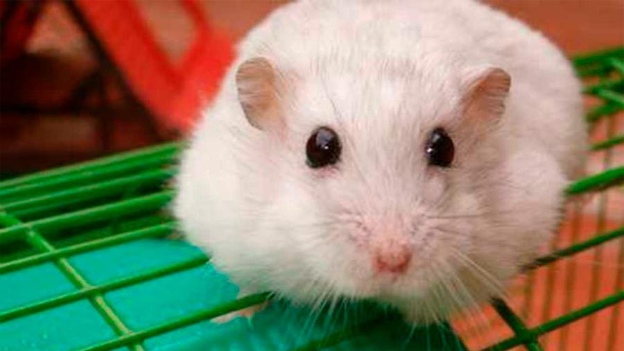 Descubren que lágrimas de ratones bebé pueden servir como control natural de plaga