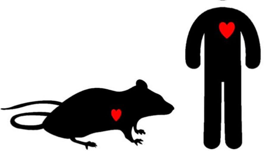 Descubren cómo algunas células del corazón hacen frente a la hipertensión