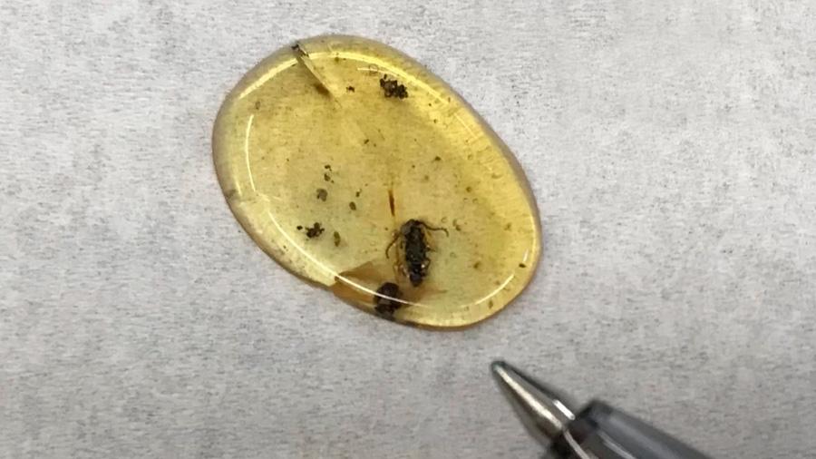 Un escarabajo atrapado en ámbar da pistas sobre movimientos tectónicos