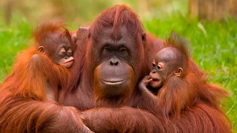 Las cifras no mejoran: el orangután sigue en peligro