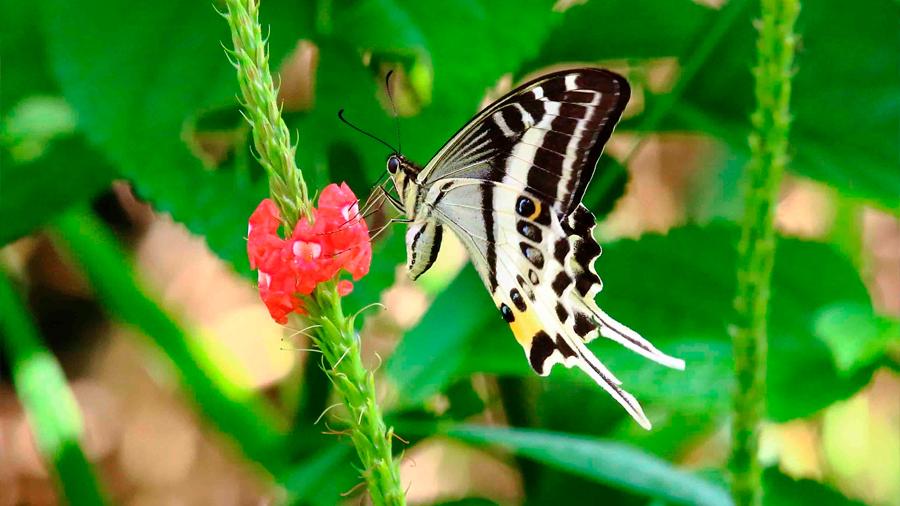 Descubierta en una isla de Fiyi espectacular nueva especie de mariposa