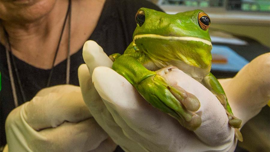 Histórico: Científicos lograron regenerar parcialmente las patas amputadas de ranas