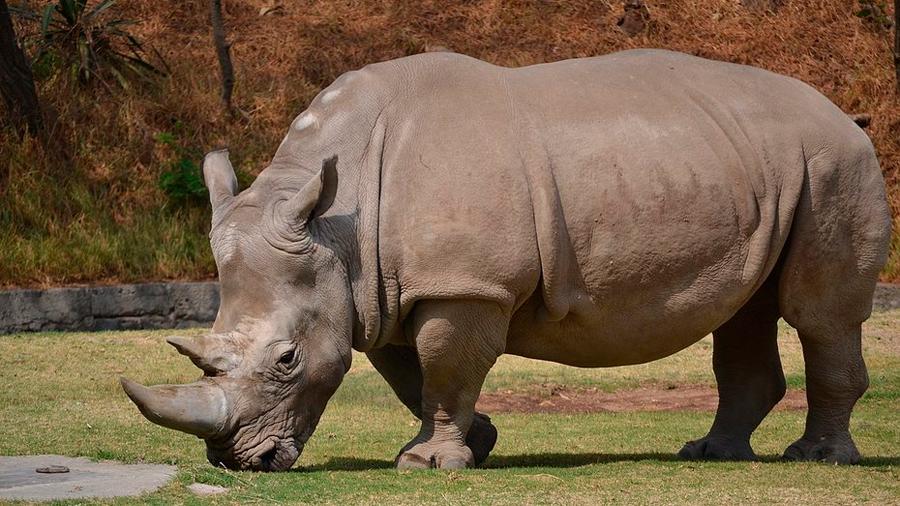 Esperanza a las últimas rinocerontes blancas del norte: su subespecie se apareó con los del sur durante la era glaciar