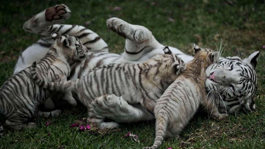 Un zoológico de Perú exhibe a tres tigres blancos de Bengala nacidos en cautiverio