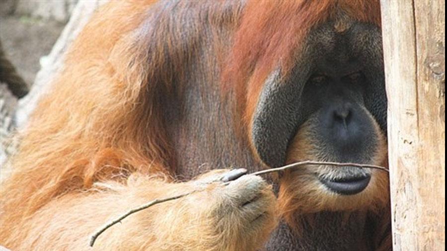 Los orangutanes son capaces de fabricar anzuelos para conseguir comida