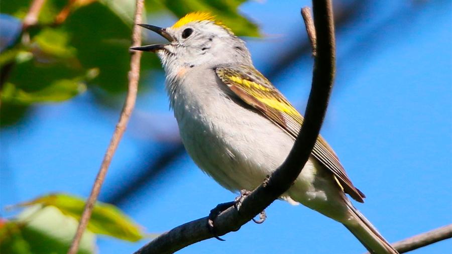 Científicos descubren un adorable pájaro que en realidad es 3 especies en una