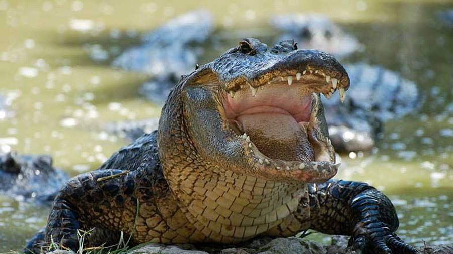 Vídeo de cocodrilo muestra que pueden saltar verticalmente fuera del agua en segundos (Video)