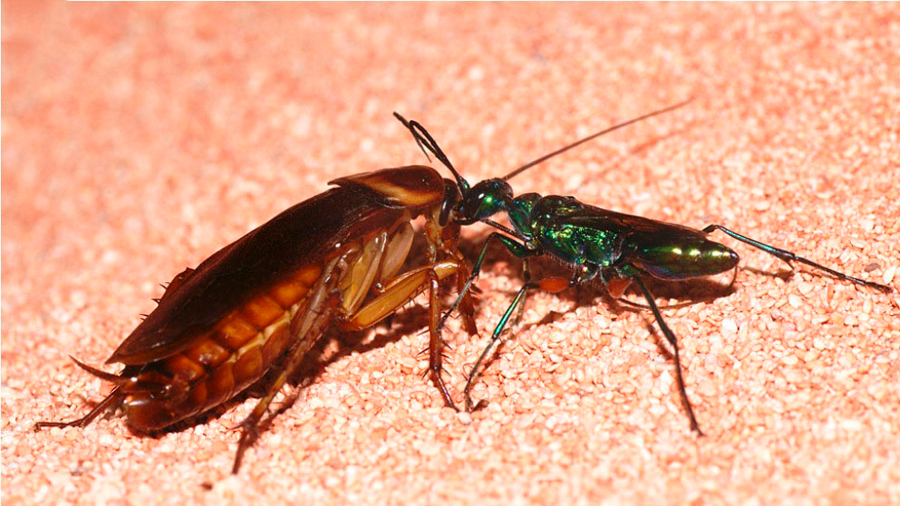 Avispas vuelven zombis a cucarachas y les depositan sus huevos para que crías se alimenten de éstas: mira cómo luchan