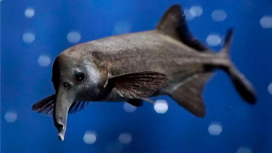 Un pez africano reconoce a sus presas mediante colores eléctricos