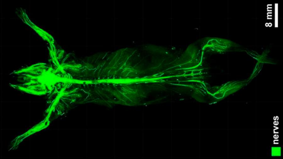 Vuelven transparente el cuerpo de un ratón