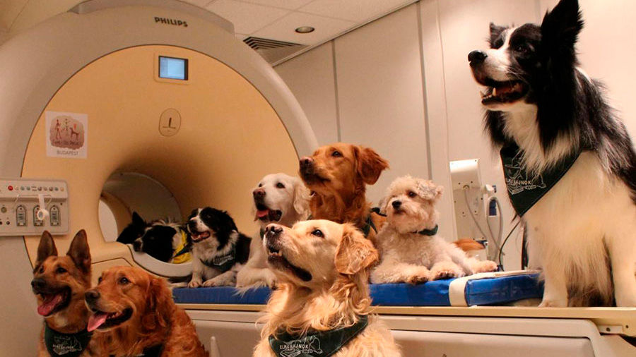 Los perros muestran signos de habilidades metacognitivas