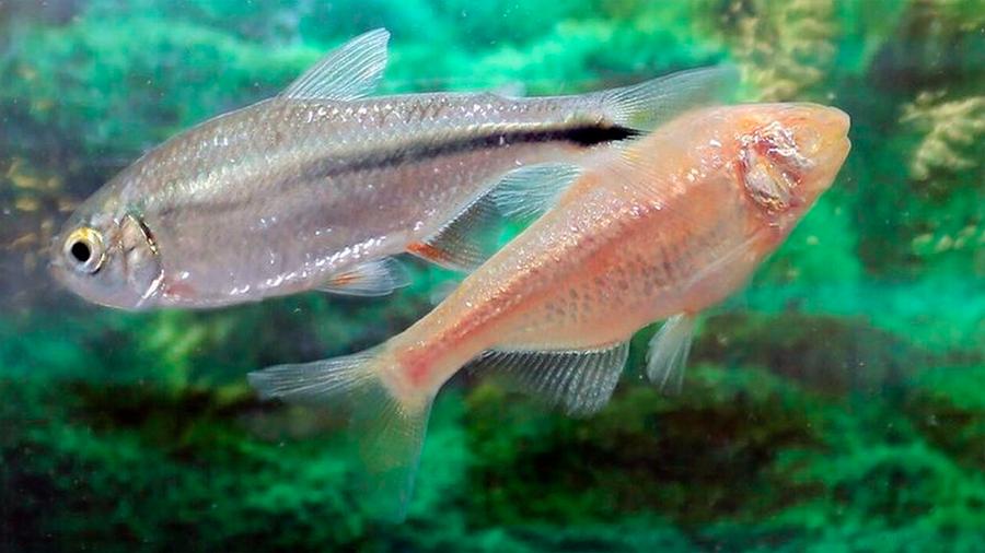 Los secretos de tetra, el pez mexicano que se repara su propio corazón (y lo que puede enseñar a la ciencia)