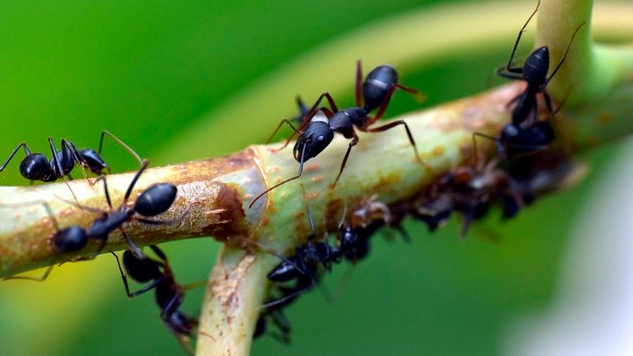 Las hormigas enfermas se alejan de sus compañeras para evitar contagiarlas