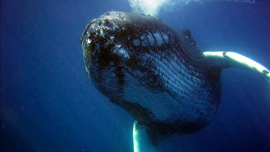 """Las ballenas jorobadas también cambian sus canciones según """"la moda"""""""