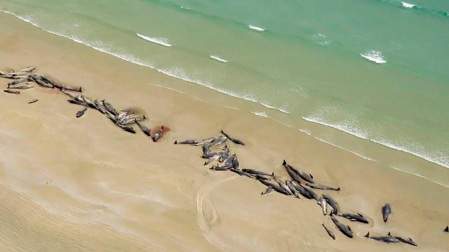 Atroz hallazgo en playa neozolandesa: desgarradora muerte de 145 ballenas varadas