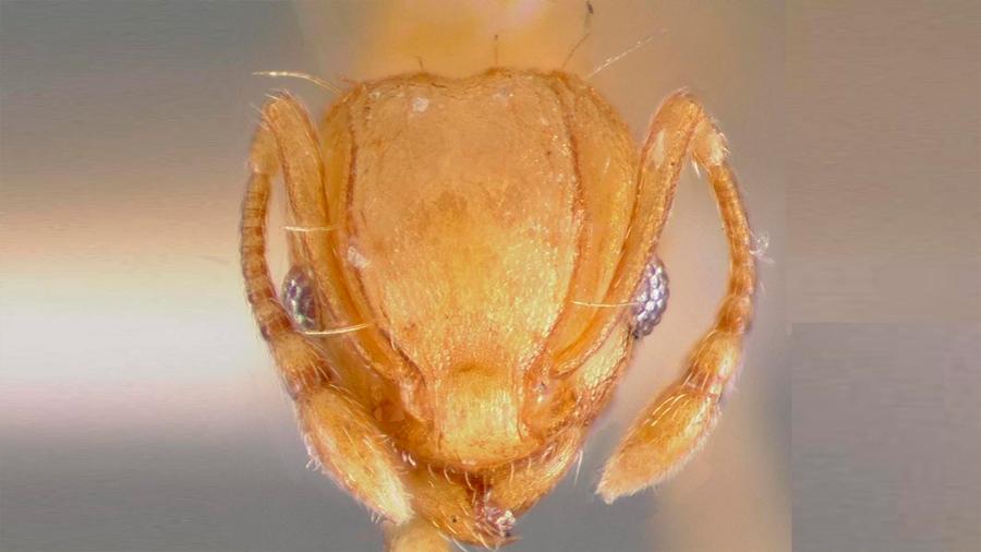 Documentan llegada a España de hormiga que pica a humanos y deja ciegos a los animales