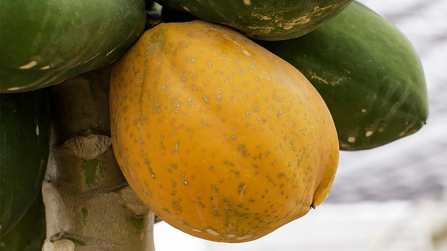 Patenta científica mexicana método molecular para diagnóstico de enfermedad que afecta a la papaya