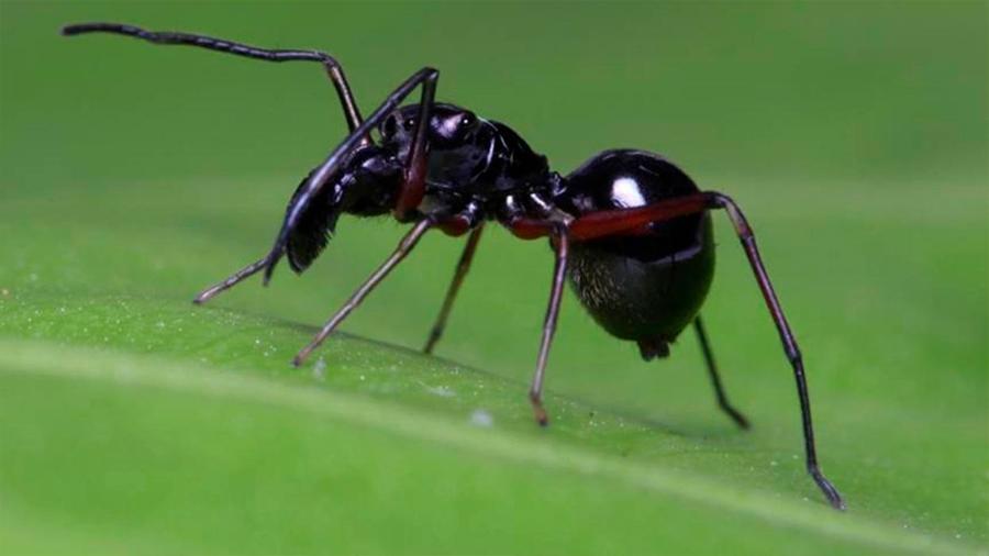 Las arañas beben leche de sus madres durante mucho tiempo