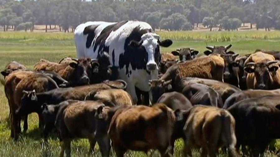 Bragas: no es una vaca y esta es la razón por la que es gigante