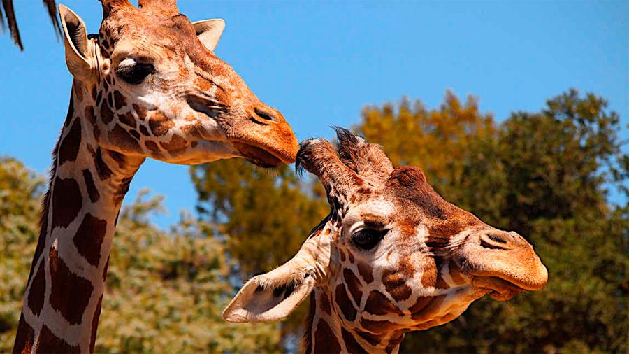 A las jirafas les gusta comer con amigos, como a los humanos