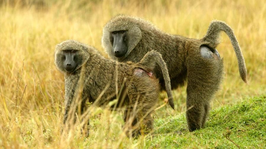 Dos monos sobreviven más de seis meses con corazones de cerdo