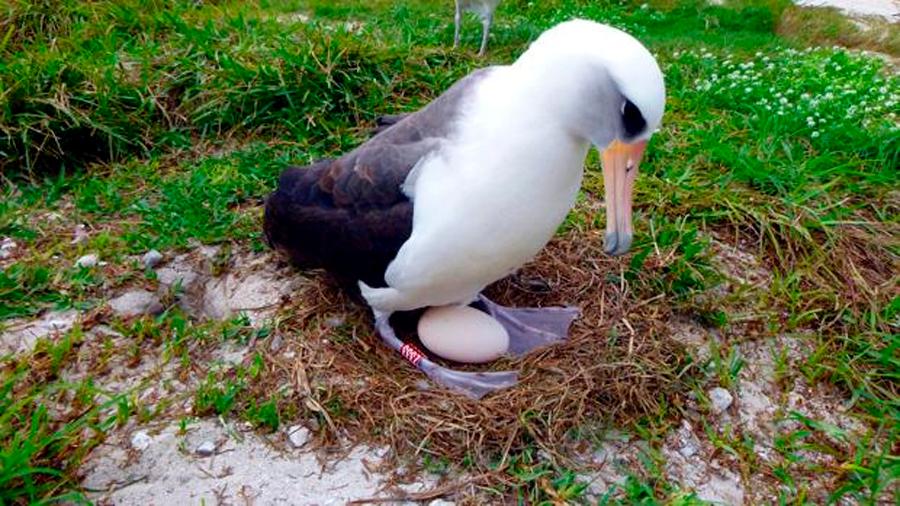 El ave silvestre más vieja del mundo ha puesto un huevo a los 68 años